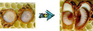Larvae in royal jelly