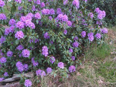Rhododendron_ponticum 2