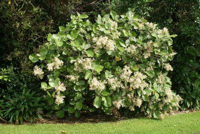 Wharangi bush