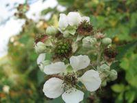 blackberry flowers food for bee pollen