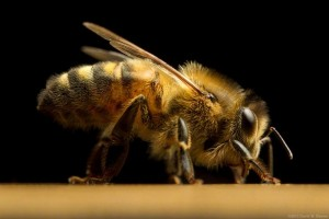 the profile of a honey bee