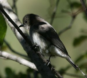 honeyguide bird