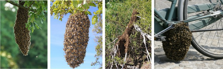 bees swarms