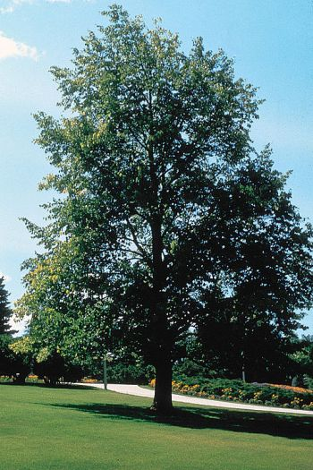 linden lime basswood tree