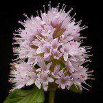 mint aka mentha flowers