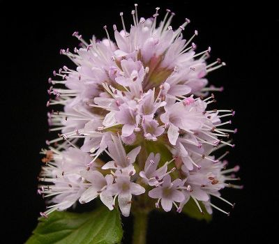mint aka mentha flowers