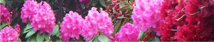 rhododendron toxic