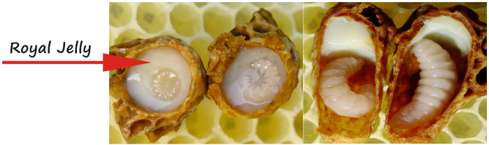 royal jelly is the milk used to feed the eggs and larvae