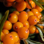seabuckthorn for immunity