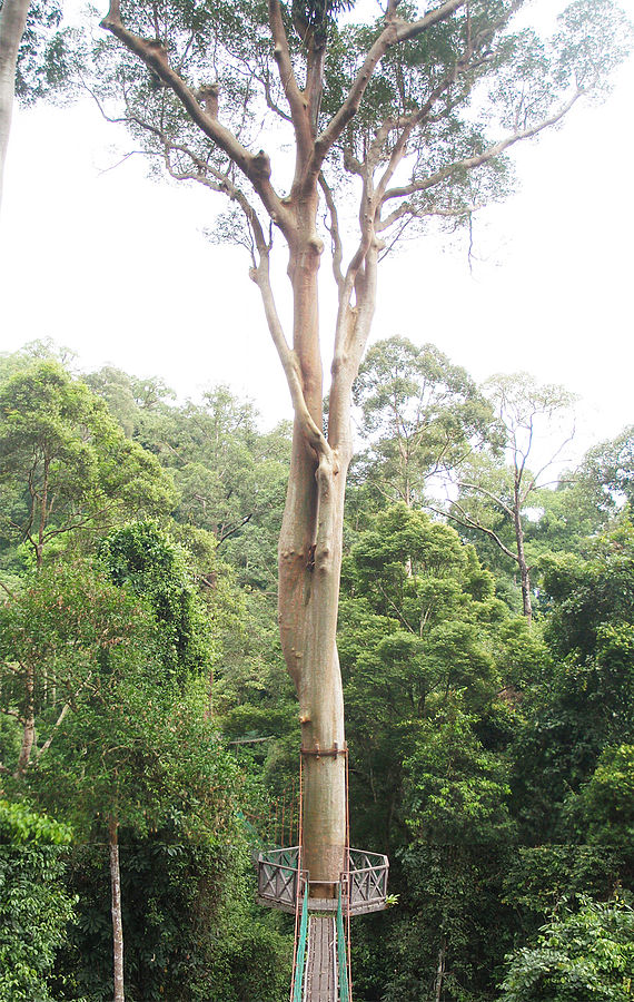 the tualang tree