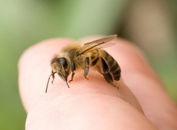 honey bee on a hand