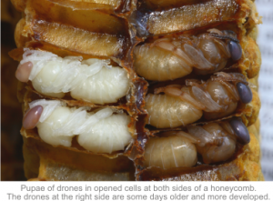 pupae of drones in opened cells