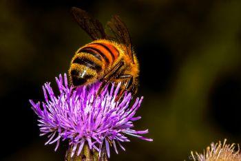 homeopathic apis mellifera benefits
