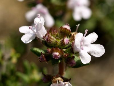 thymus vulgaris or common thyme