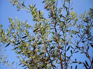 baccharis drancunculifolia from Brazil