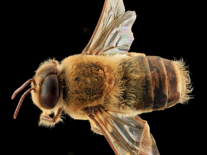 the back of a drone bee