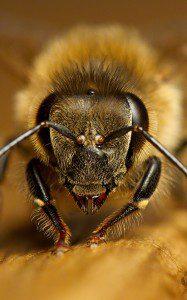 head of a worker bee