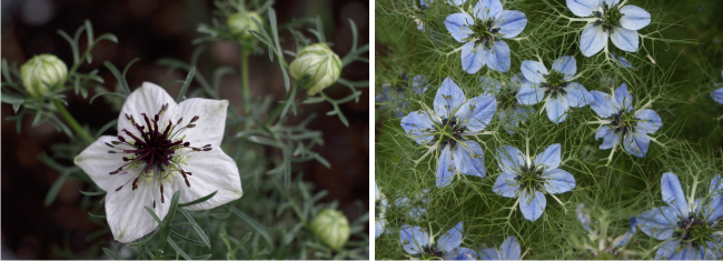 beautiful flowers of nigella sativa
