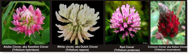 Which Are The Types Of Clover