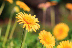dandelion root tea cures leukemia