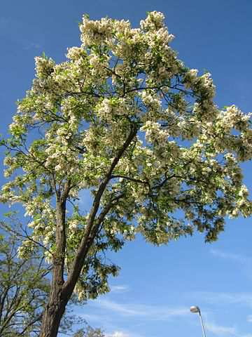 black locust tree in flower