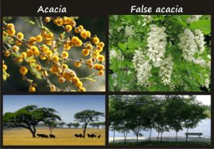 acacia compared to false acacia (black locust)