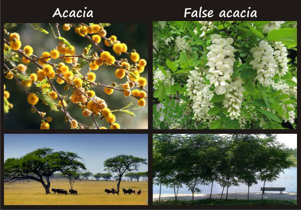 acacia compared to false acacia (black locust)