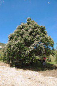 kanuka tree