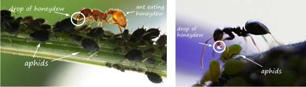 honeydew, aphids, ant