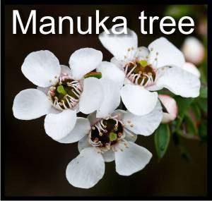 manuka tree flowers
