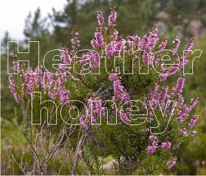 heather honey is a powerful antioxidant