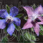 blue borage honey health benefits