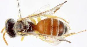 caliopsoni bee is an oligolectic bee