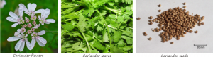 coriander flowers leaves and seeds