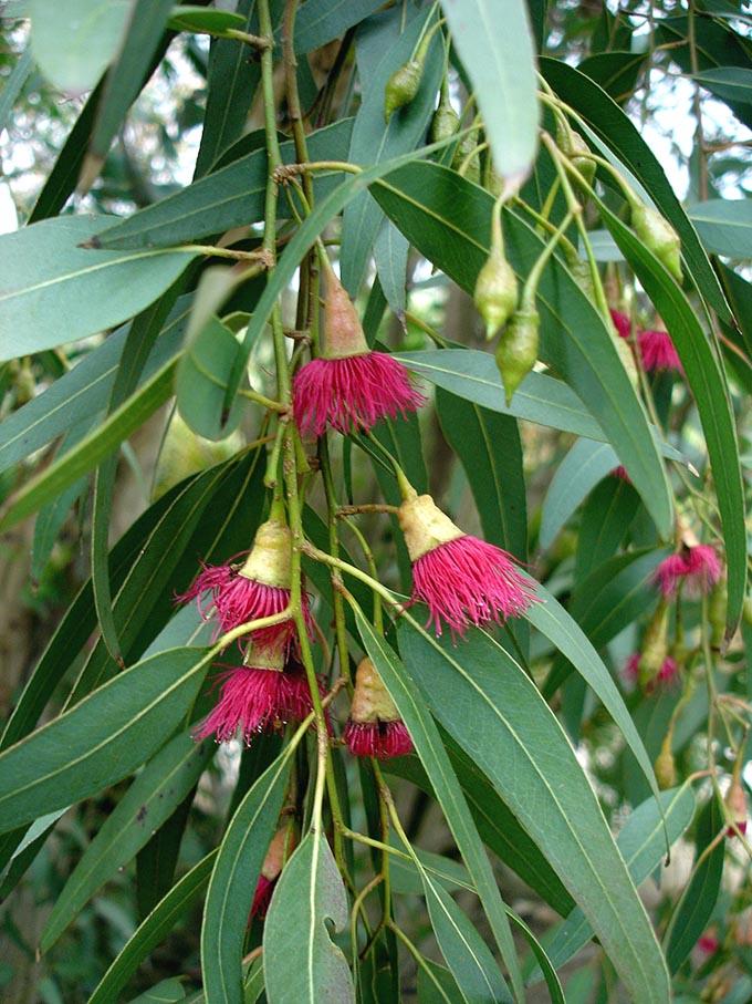 Eucalyptus_leucoxylon