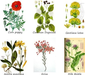 some examples of melliferous plants