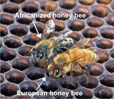 Africanized bee vs European bee