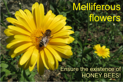 seed melliferous flowers
