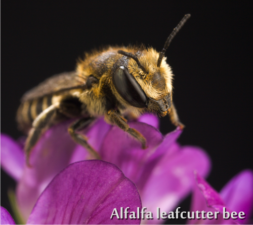 leafcutting bee on an alfalfa flower