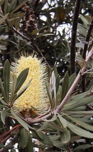 flower of Banksia integrifolia
