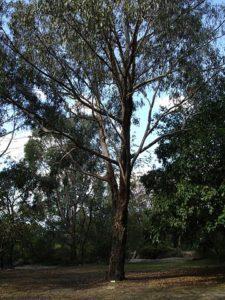 long-leaf box eucalyptus