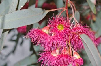 red ironbark flowers