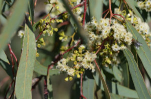 flowers of black box eucalyptus