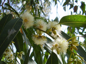 eucalyptus globulus flowers