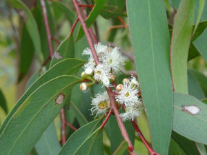 flowers of peppermint eucalyptus