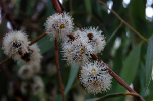 Flowers of Silver-leaf Stringybark