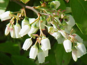 the nectar of blueberry flowers make a great antioxidant honey