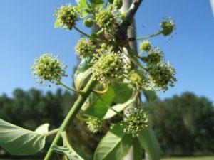 flowers of tupelo