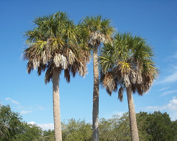 sabal palmetto tree