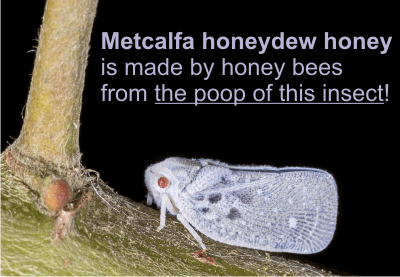 honeydew honey is made of excretions from insects